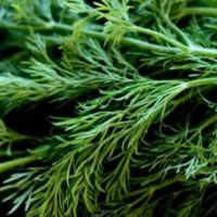 Укроп (лат. Anethum graveolens)