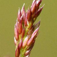 Полевица тонкая (лат. Agrostis Capillaris)