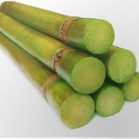 Сахарный тростник (лат. Saccharum officinarum)