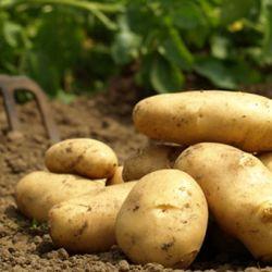 """Сбор """"летнего"""" картофеля в Самсуне"""