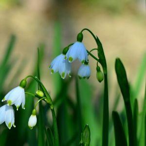 Белоцветник летний (лат. Leucojum aestivum)