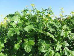 Рапс (лат. Brassica napus)