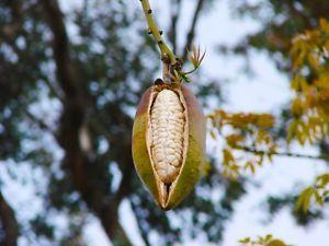 Хлопковое дерево (лат. Ceiba pentandra)