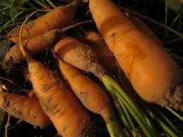 Морковь дикая (Daucus carota ssp. sativa)