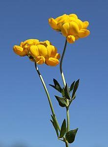 Лядвенец рогатый (лат. Lotus Corniculatus)