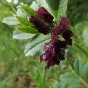 Горошек нарбонский (лат. Vicia Narbonensis)