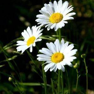 Астровые (лат. Asteraceae)