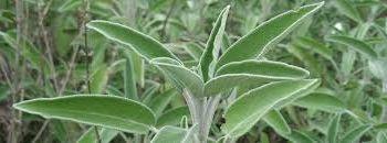 Шалфей луговой (лат. Salvia pratensis)