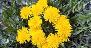 Одуванчик лекарственный (лат. Taraxacum officinale)