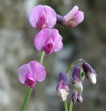 Чина льнолистная (лат. Lathyrus linifolius)
