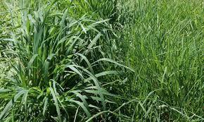 Гибридная трава