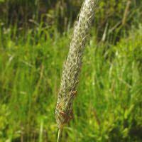 Лисохвост луговой (лат. Alopecurus Pratensis)