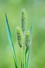 Тимофеевка луговая (лат. Phleum pratense)