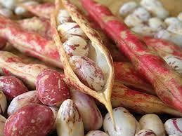 Фасоль обыкновенная (лат. Phaseolus vulgaris)