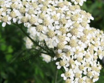 Тысячелистник обыкновенный (лат. Achillea millefolium)