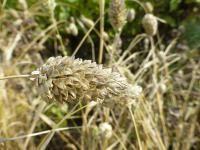 Канареечник канарский (лат. Phalaris canariensis)