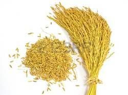 Рис посевной (лат. Oryza sativa)