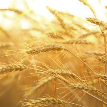 Пшеница(лат. Triticum)