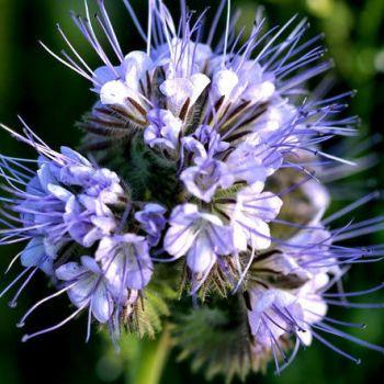 Фацелия пижмолистная (лат. Phacelia Tanacetifolia)
